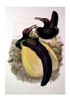 "Bird of Paradise IV by John Gould - 13"" x 20"""