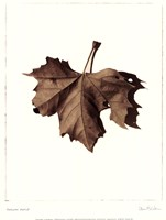 Norway Maple Fine Art Print