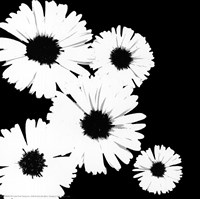 Black/White Asters I Fine Art Print