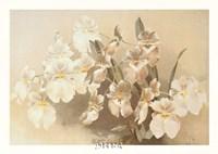 Odontoglossum Vexillarium Fine Art Print