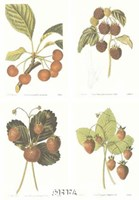 Berries (Set of Four) Fine Art Print