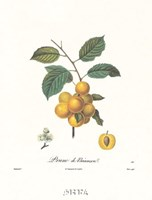 Plums/Prune de Briancon Framed Print