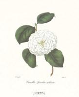 Camellia Spiraliter Imbricata Fine Art Print