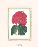 Rhododendron No. 1 Framed Print