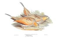 Syrrhaptes Tibetanus Fine Art Print
