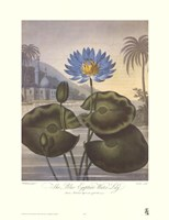 The Blue Egyptian Water-Lily Fine Art Print