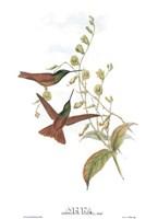Diphogena Aurora/Hummingbirds Fine Art Print