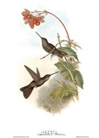 Coeligena Typica/Hummingbirds Fine Art Print