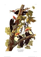 "Pileated Woodpecker by John James Audubon - 20"" x 28"""