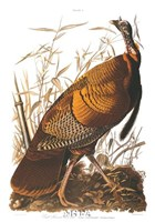 "Wild Turkey by John James Audubon - 24"" x 36"""