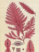 Britich Seaweed Plate CCLIX Fine Art Print