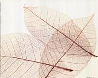 Sheer Leaves III Framed Print