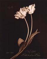 Tulip Sylvestrie No. 10 Fine Art Print
