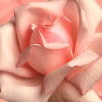 Pink Rose Fine Art Print