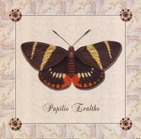 Papilio Evalthe II Framed Print