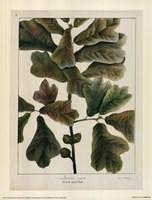 Black-Jack Oak Fine Art Print
