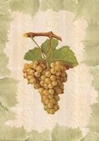 Antique Grapes - Terret Blanc Fine Art Print
