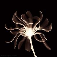 "Cinnamon Ribbon (Sepia) by Alfred Augustus Glendenning Jr. - 6"" x 6"""