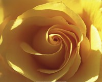 "Yellow Rose by Laurent Pinsard - 20"" x 16"""