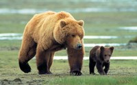 """Grizzly Man - couple of bears - 17"""" x 11"""""""