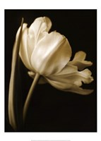 Champagne Tulip I Fine Art Print
