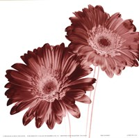 """RedDaisies by Dick and Diane Stefanich - 6"""" x 6"""""""