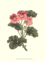 Pink Geranium I Fine Art Print