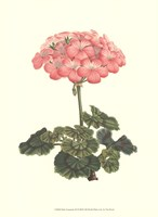 Pink Geranium III Fine Art Print