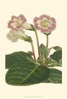 Gloxinia Garden II Fine Art Print