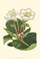Gloxinia Garden IV Fine Art Print