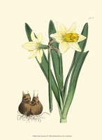 Yellow Narcissus II Fine Art Print
