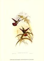 Small Gould Hummingbird I Framed Print
