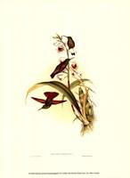 Small Gould Hummingbird II Fine Art Print