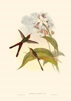 Small Gould Hummingbird III Framed Print