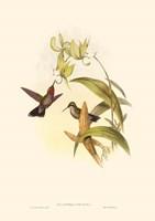 Small Gould Hummingbird IV Framed Print