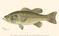 Large-mouthed Black Bass Framed Print