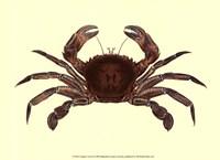 Antique Crab II Fine Art Print