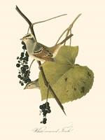Audubon's Finch Framed Print