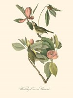 Audubon's Vireo Fine Art Print
