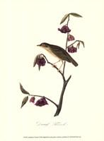 Audubon's Thrush Fine Art Print