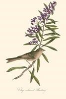 Audubon's Bunting Fine Art Print