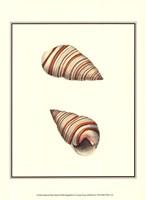 Ribband Bulla Shells Fine Art Print