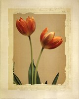 Tangerine Tulips II Fine Art Print