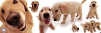 Dogs - Golden Retrievers Fine Art Print