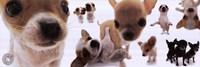 Dogs - Chihuahua Fine Art Print