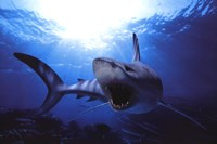 Shark Teeth Wall Poster