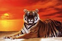 Tiger - sunset Framed Print