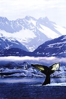 Humpback Whale Tail in Arctic Fine Art Print