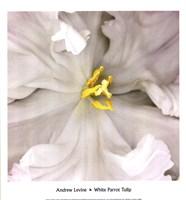 White Parrot Tulip Framed Print