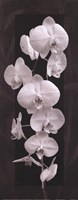 Orchid Opulence II Fine Art Print